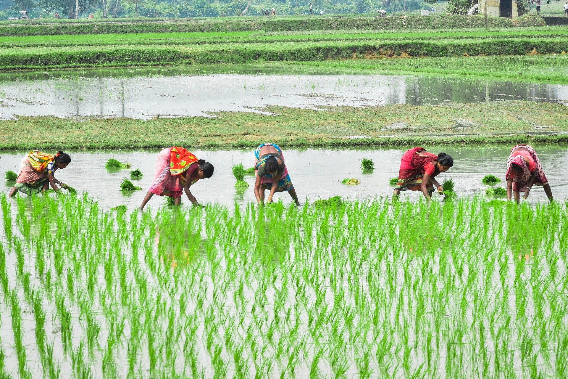 インドで見られる水稲栽培