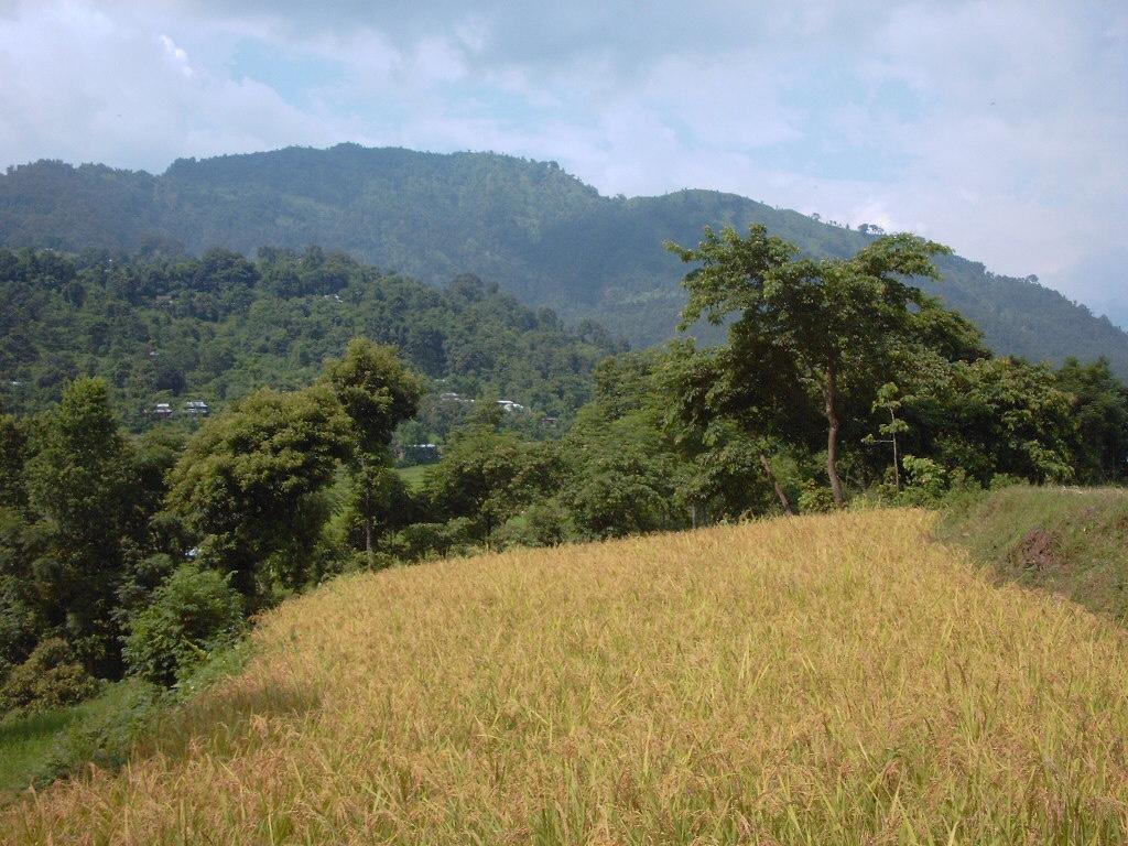ネパールの山間地で栽培される陸稲